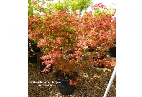 Acer palmatum 'Carminium'