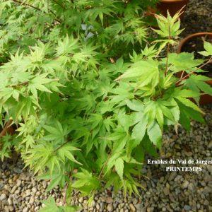 Acer palmatum Limelight