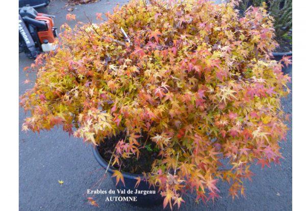 Acer palmatum 'Kiyo Hime'