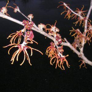 Hamamelis intermedia 'Jelena'