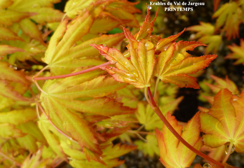 Acer palmatum orange dream erable du val de jargeau - Erable du japon orange dream ...