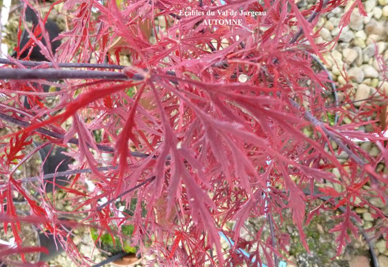 Acer palmatum dissectum 'Stella Rossa'