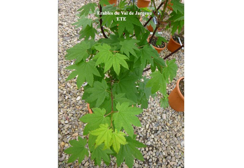 Acer Circinatum Burgundy Jewel Erable Du Val De Jargeau