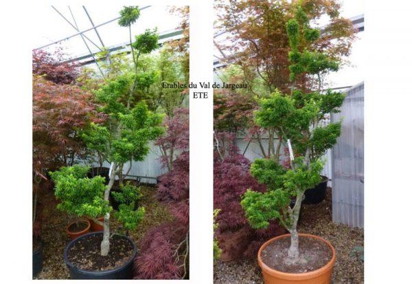 Acer palmatum 'Shishigashira' été