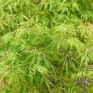 Acer palmatum dissectum Green Globe