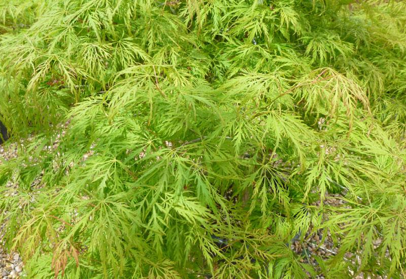 Acer Palmatum Dissectum Green Globe Erable Du Val De Jargeau