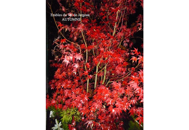 Acer palmatum 'Fireglow