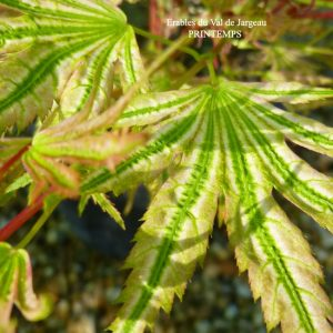 Acer palmatum 'Higasa Yama'
