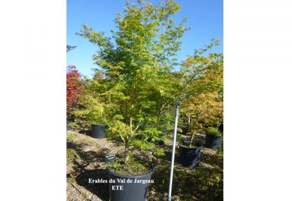 Acer palmatum 'Elegans'