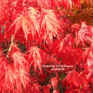 Acer palmatum 'Chitose Yama'