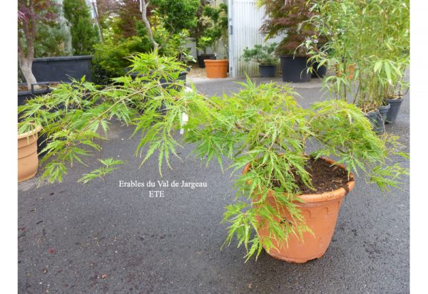 Acer palmatum dissectum 'Birthday Wishes'