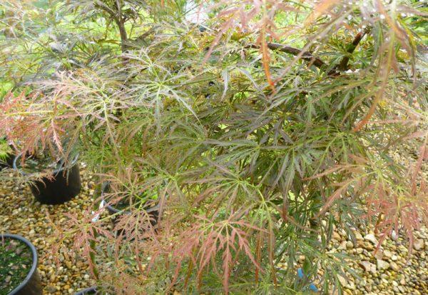 Acer palmatum dissectum 'Pendulum Julian'