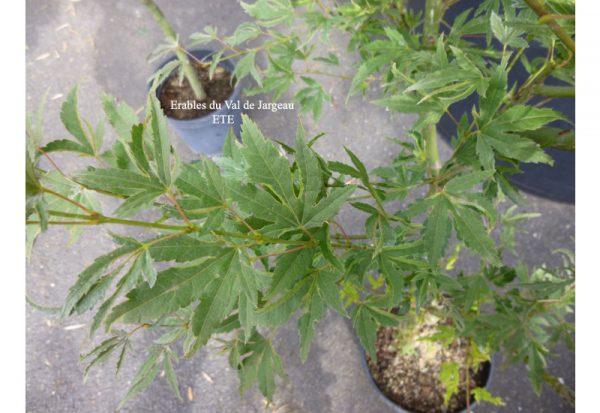 Acer palmatum 'Hoshi Kuzu'