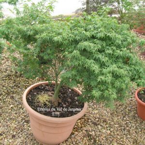 Acer palmatum 'Murasaki Kiyo Hime'