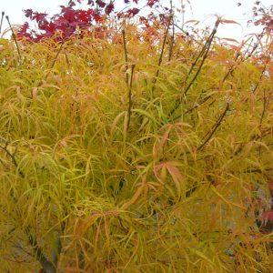 Acer palmatum scolopendrifolium