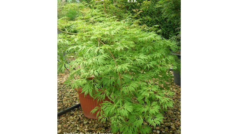 Acer japonicum 'Green Cascade'