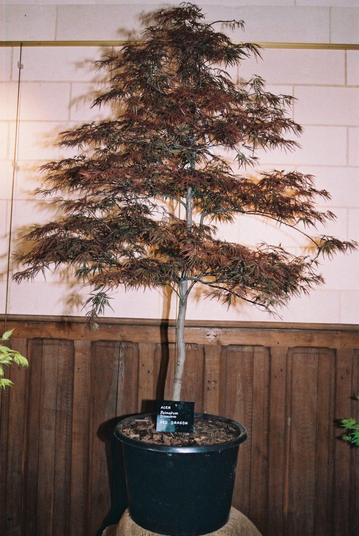 Acer Palmatum Dissectum Red Dragon Erable Du Val De Jargeau