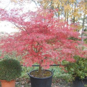 Acer palmatum 'Flavescens'