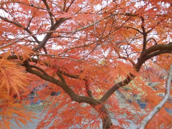 Acer palmatum dissectum 'Ornatum' en automne