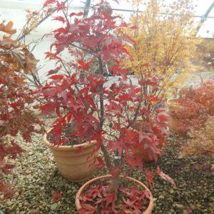 Acer palmatum peve ollie automne