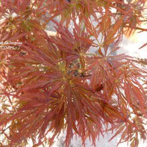 Acer palmatum dissectum Lion Heart