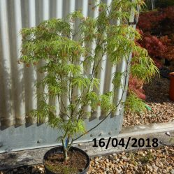 Acer palmatum Ao Shime No Uchi