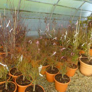 cornus kousa satomi jeune plants