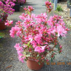 Azalea japonica 'Mme Albert Van Hecke'