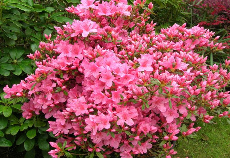 Azalea japonica mme albert van hecke erable du val de for Azalea japonica