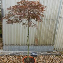 Acer palmatum dissectum Crimson Prince