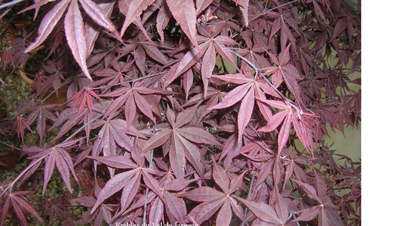Acer palmatum 'Yubae'
