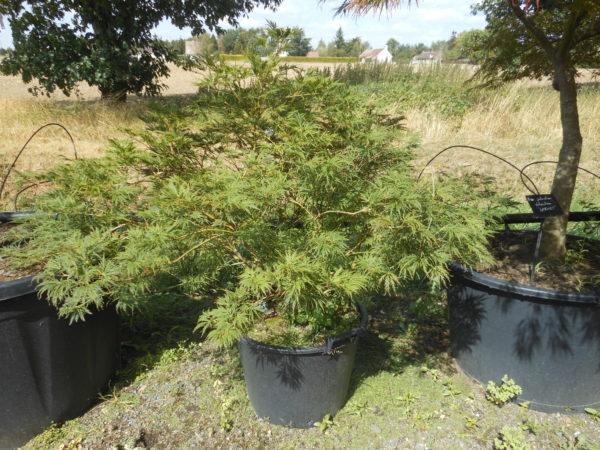 Acer palmatum rubrifolium