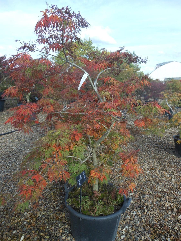 Acer Japonicum Green Cascade Erable Du Val De Jargeau