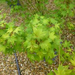 Acer palmatum 'Sunshine'