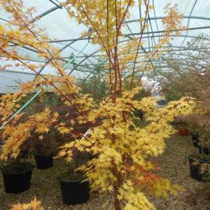 Acer palmatum Senkaki