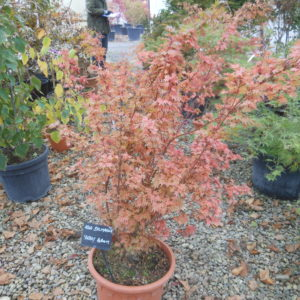 acer palmatum berry broom