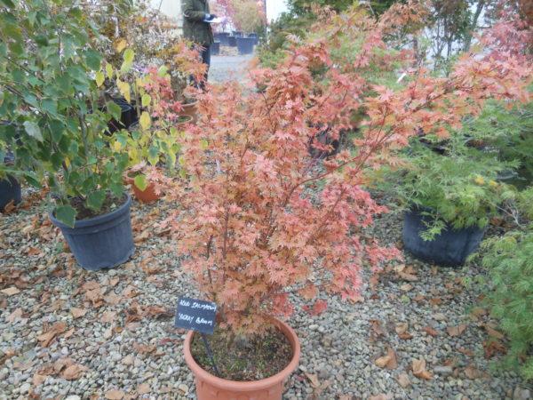 acer palmatum berry broom