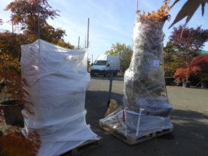 Transport d'érables du Japon