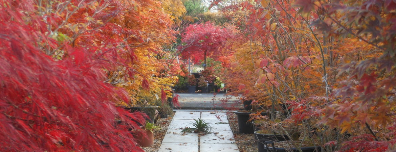 Nos érables du Japon en couleur d'automne