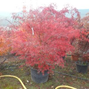 Acer palmatum dissectum flavescens