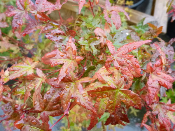 Acer palmatum 'Shin Deshojo'
