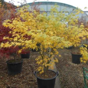 Acer palmatum UKON