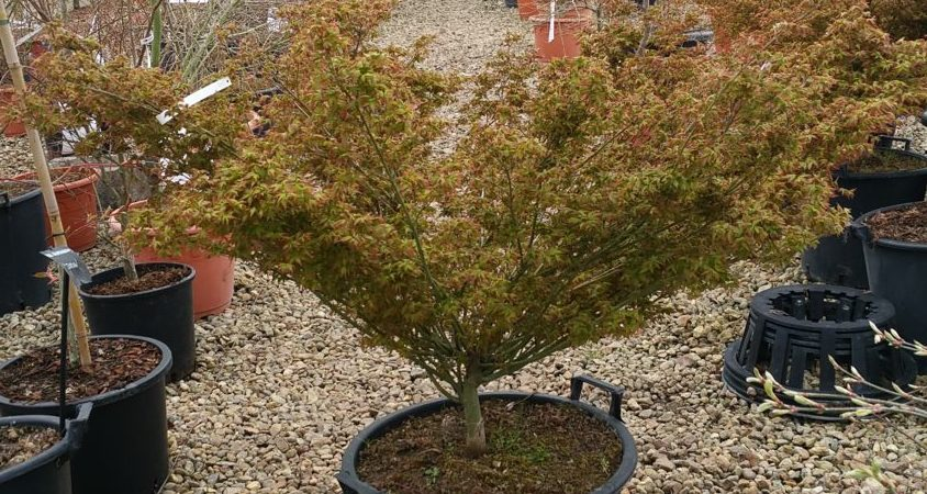 Acer palmatum 'Little Princess'