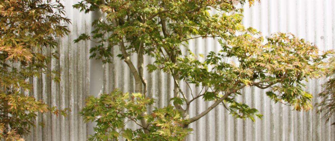 Acer japonicum 'Maiku Jaku'