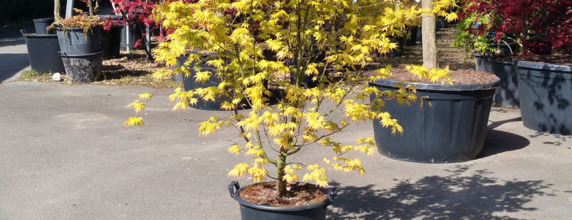 Acer palmatum 'Orange Dream