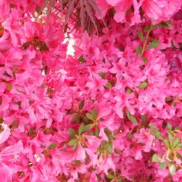 Azalea japonica 'Rosa'