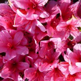 Azalea japonica 'Silvester'