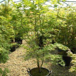 Acer palmatum 'Kihachijo'