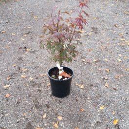 Acer palmatum 'Beni Kagami'