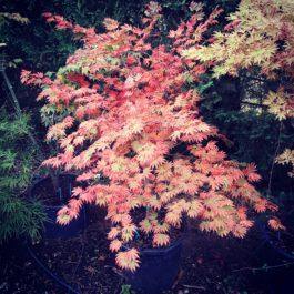 Acer palmatum 'Green Elf'